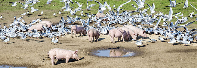 Pigs with gulls