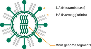 Structure of influenza A virus