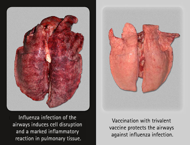 Swine lung with and without influenza